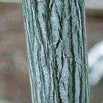 Acer striatum syn. A. pensylvanicum