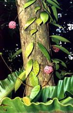 Hoya acuta pink flowering clone