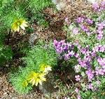 Adonis vernalis och Aubrieta x cultorum 'Holbaek'