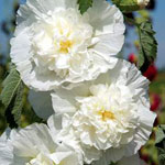 Stockros, Alcea rosea 'Chater's Double Icicle'