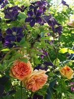 'Alchymist' och Clematis 'Etoile Violette'