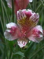 Alstroemeria 'Pink Blush'