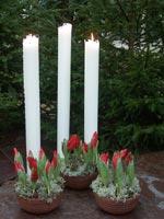 Altarljus med jultulpan 'Brilliant Star' i fönsterlav