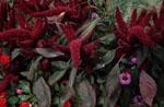 Amaranthus caudatus, rävsvans