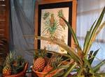 På bilden ses olika sorters ananasfrukter och en planta med en miniananas i toppen.