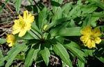 Anemone ranunculoides flore pleno