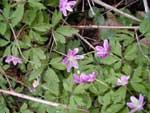 Anemone nemorosa lila