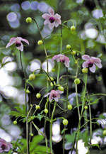 Anemonopsis macrophylla, porslinsanemon