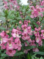Angelonia angustifolia 'Serena Lavender'