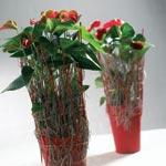 Rosenkalla, Anthurium andraeanum