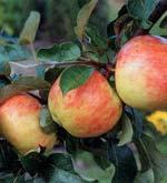 Äppleprojekt om hälsa och allergi