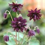 Akleja, Aquilegia vulgaris 'Miss M.I. Huish'