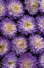 Aster 'Cool'