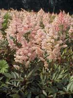 Astilbe japonica 'Peach Blossom'