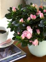 Den ljust rosa azalean på bilden heter 'Terra Nova'.