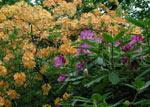 Azalea och Rhododendron