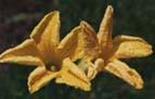 Blommorna från squash och pumpa är inte bara vackra utan kan också ätas.