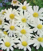Balkansippa Anemone blanda 'White Splendour'