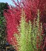 Kochia trichophylla, (syn. Bassia scoparia) sommarcypress