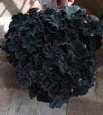 Begonia 'Dark Mambo'