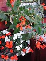 Begonia 'Herrgård' över 50år