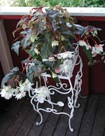 Begonia 'Herrgård'