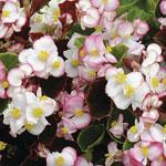 Sommarbegonia, Begonia semperflorens 'Blushing Bride'