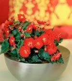 Höstbegonia (Begonia x hiemalis)