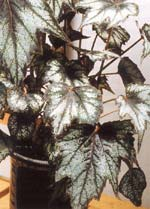 Begonior med vackra blad