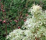 Pieris japonica 'Astrid'