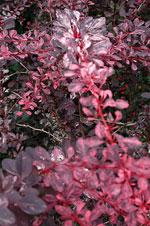 'Rose Glow'