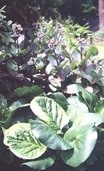 Bergenia cordifolia 'Rotblum', Hjärtbergenia