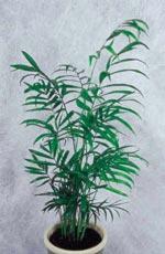Chamaedorea elegans, bergpalm