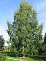 Betula pendula 'Dalecarlica' E™, ornäsbjörk E