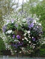 Den blåvita ampeln innehåller annars samma växter utom att här är det både vita och blåa förgätmigej. Det är björnmossa som håller växterna kvar i nätampeln.
