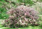 Blommande paradisbuske