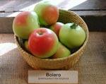 Bolero - en mycket vacker s.k. pelaräppelsort