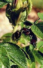 Trädgårdsborren svärmar i juni. De vuxna djurens gnag på lövträd och buskar gör ingen skada, larverna däremot förstör gräsmattan.
