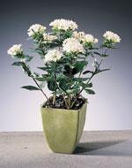 Bouvardia hybrid
