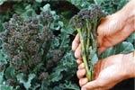 Broccolini, 'Bordeaux'