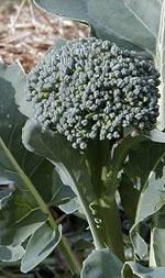 Årets första broccoliskörd!