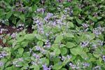 Brunnera macrophylla och Pulmonaria longifolia