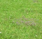 Några av de vanligaste ogräsen i gräsmattor. Brunört och rölleka.
