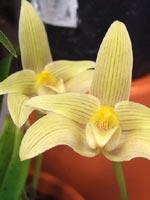 Bulbophyllum lobbi