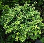 Buxus sempervirens 'Aureovariegata'