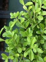 Buxus microphylla - tät buxbom