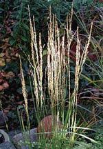 Calamagrostis acutiflora 'Stricta'