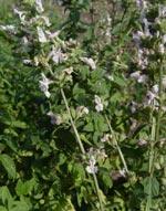 Stenkyndel, Calamintha nepeta ssp. Nepeta