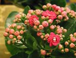 Calandiva årets blomnyhet