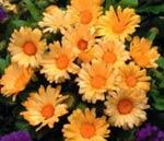 Ringblomma, 'Daisy May Gold'